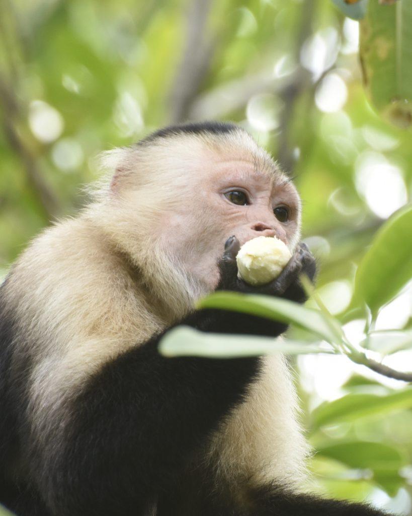 Pablo, a White Faced Capuchin monkey.